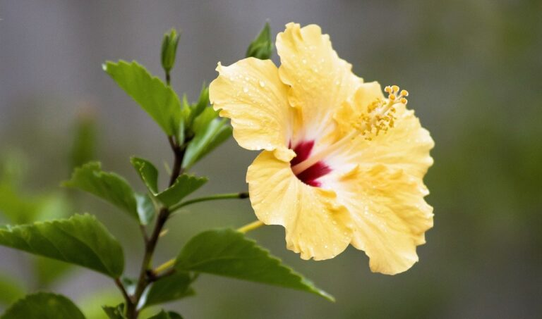 hibiscus, tropical, flower