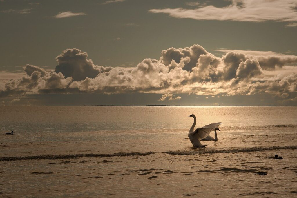 swan, bird, sea
