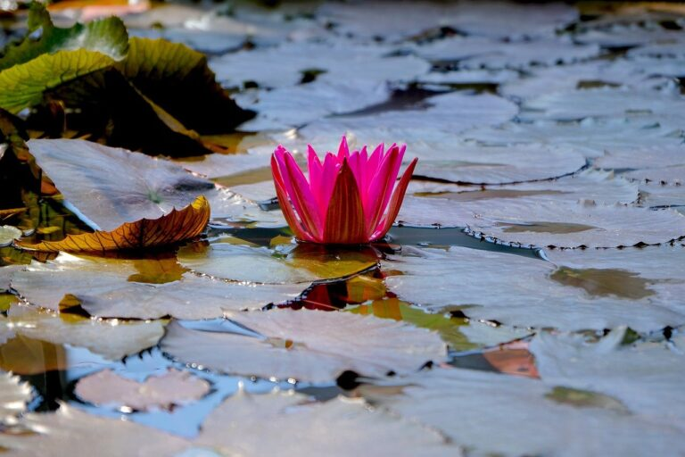 water lily, lotus flower, lily pads
